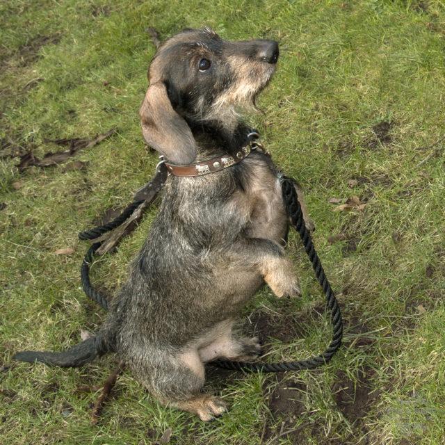 Dackel, Dackelblick, Dackelchen, Dackelliebe, Ich, Odin, das Dackelchen und das Geheimnis meines Erfolges!, Hund, Hundeliebe, Odin,